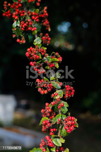 One of the colourful sights as summer fades to autumn are these bright round berries on hawthorn (Crataegus monogyna) bushes. Besides brightening up the landscape through autumn and the Christmas period, they provide food for birds and other creatures. Despite their appearance, haws are 'pomes' and not berries. Although edible to humans, they are more usually added to jellies, jams, syrups or wine.