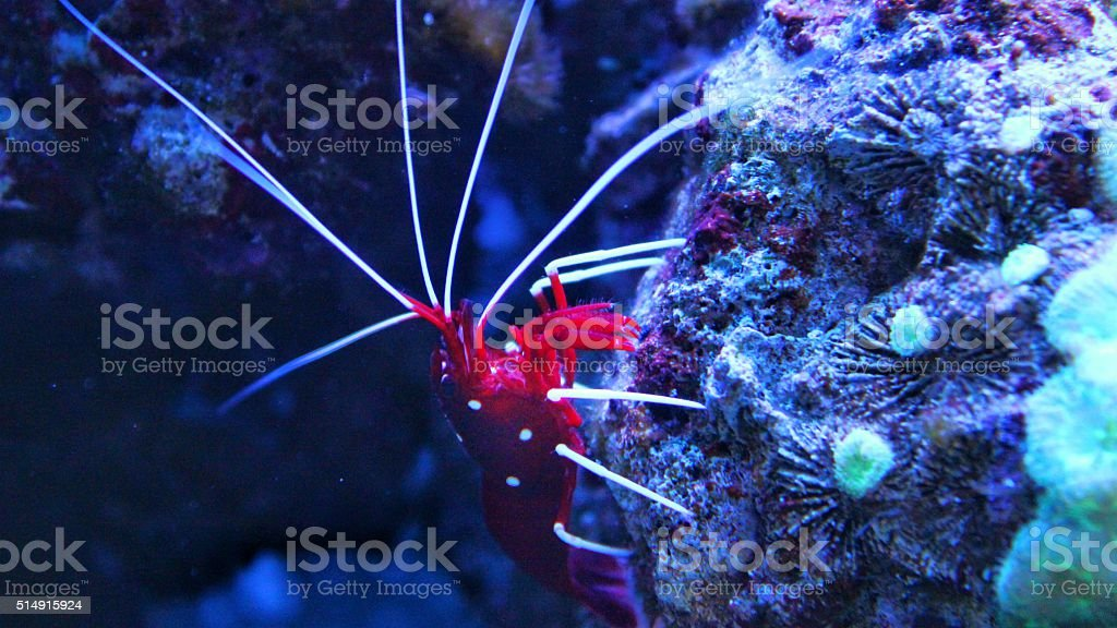 red shrimp in aquarium (lysmata debelios) stock photo