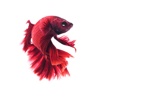 red siamese fighting fish stock photo