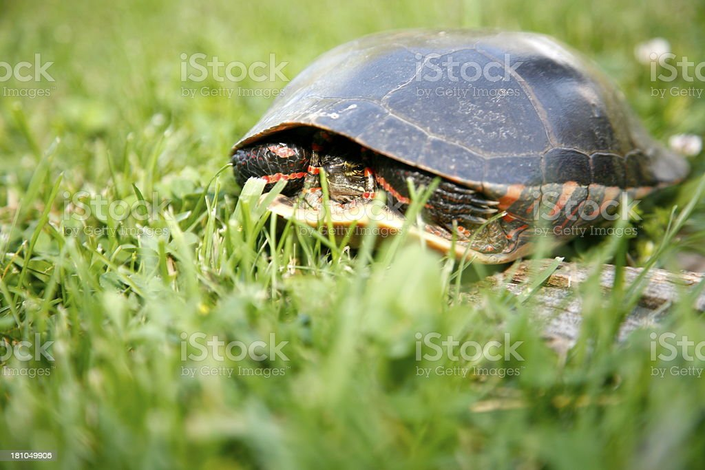Red Slider Turtle royalty-free stock photo