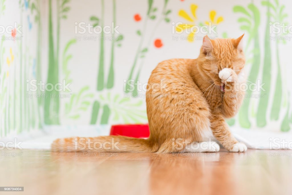 Red small kitten sitting on the floor and washing his tongue stock photo