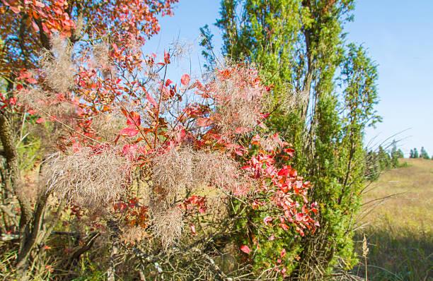rot rauch bäume in der natur.  europäische smoke bush - perückenstrauch stock-fotos und bilder