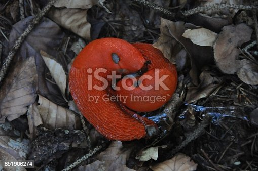 Red living snailon forest natural floor