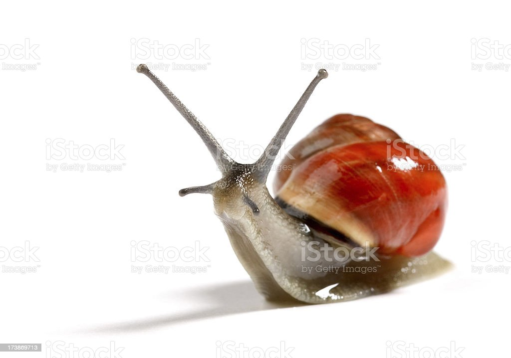 red snail royalty-free stock photo