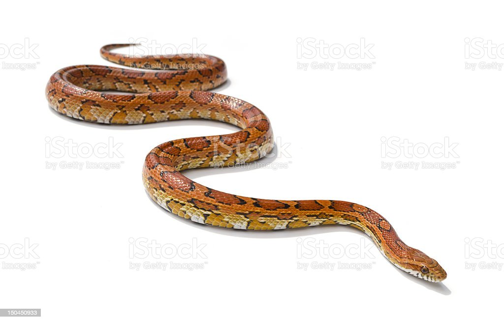 Red snake sliding stock photo