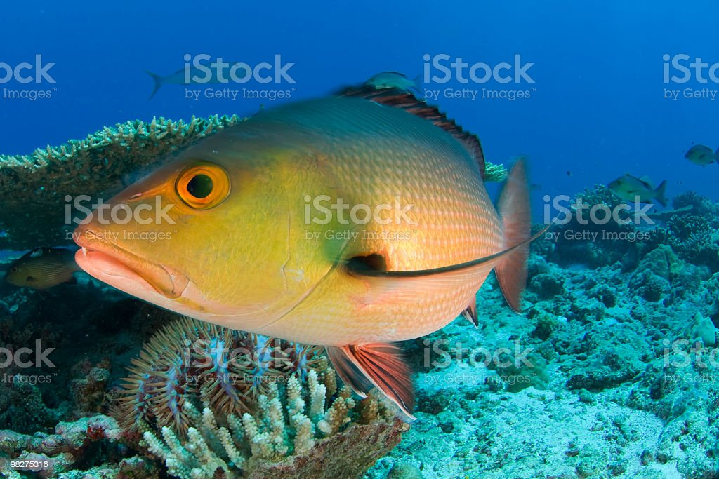 red snapper closeup royalty-free stock photo
