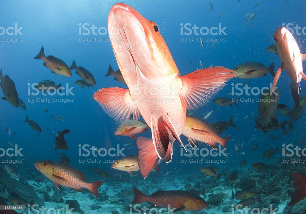 red snapper closeup underwater royalty-free stock photo