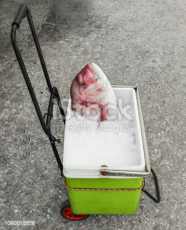 Red Snapper fish head looking up on bucket with crushed ice on a lugguage trolley. Isolated.