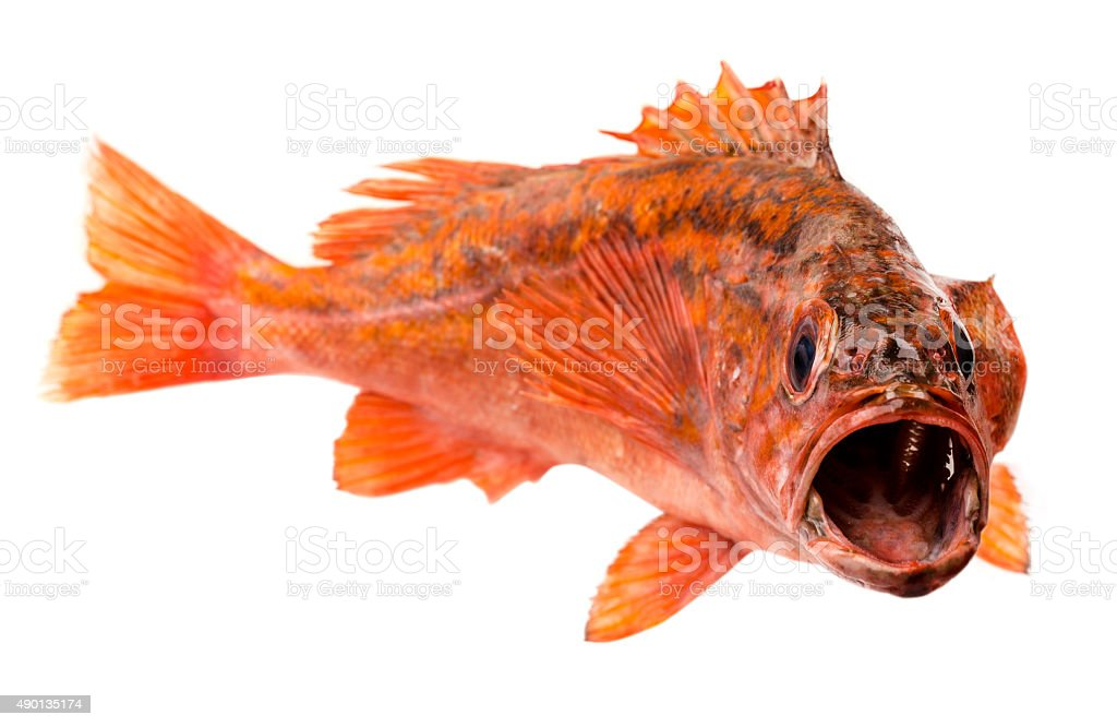 Red Snapper isolated on white stock photo