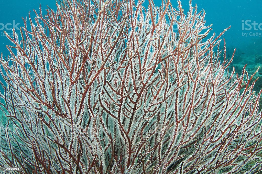 red soft coral royalty-free stock photo
