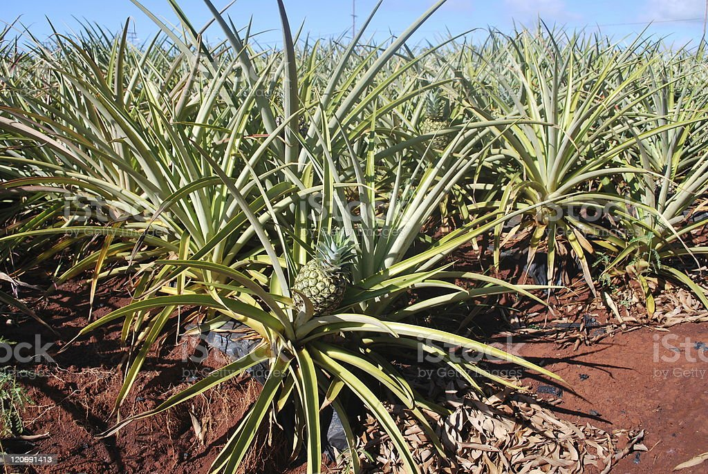 Red soil pineapple plantation of Hawaii royalty-free stock photo