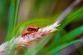 Red soldier beetles mating, Rhagonycha fulva