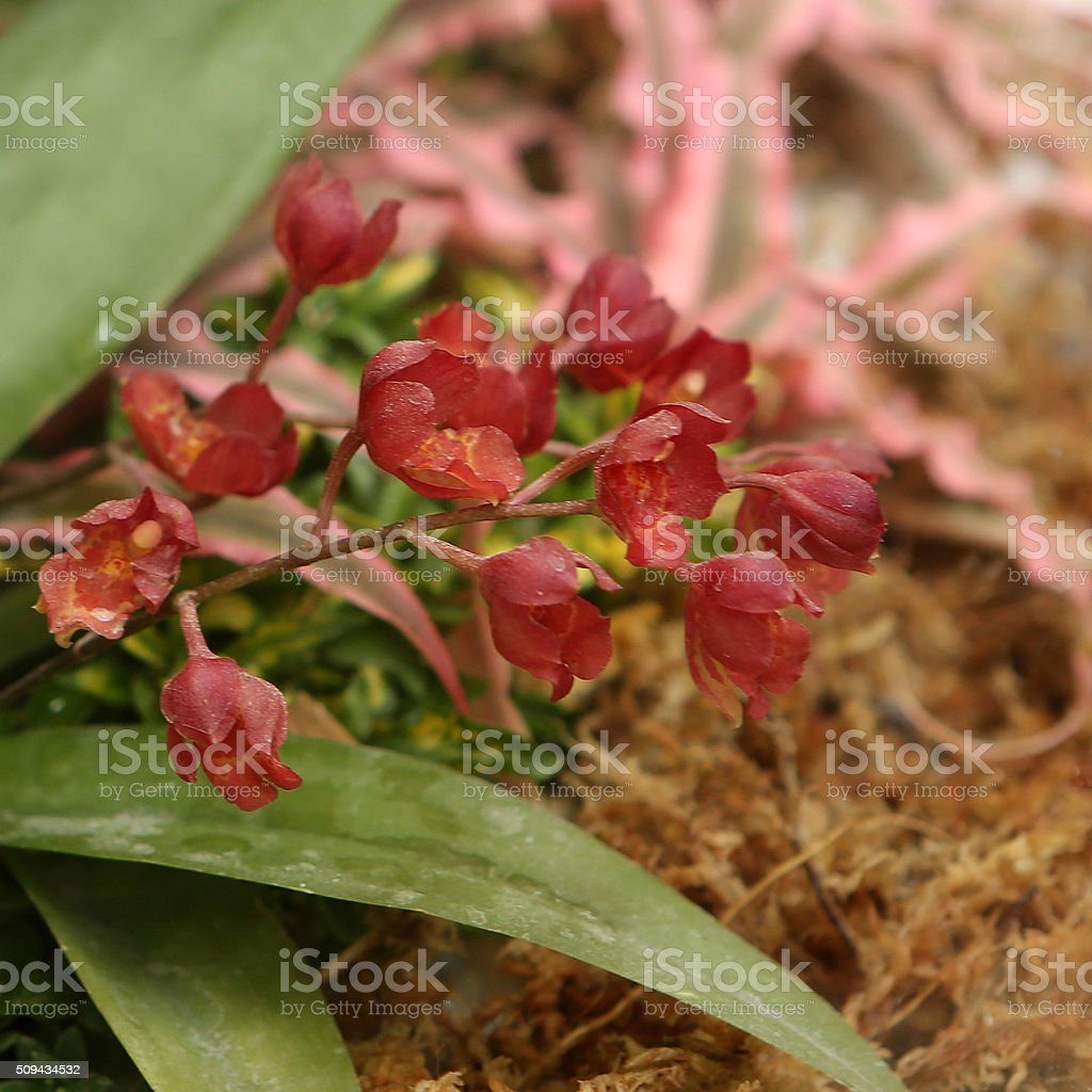 Red solitary worm orchid stock photo