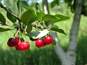 Close up shot of delicious juicy red sour cherries on a branch of a tree in orchard on a sunny morning.