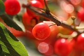 Red sour cherries on a tree