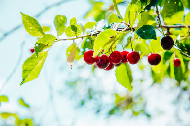 Red Sour Cherry Detail on Cherry Tree in Summer stock photo
