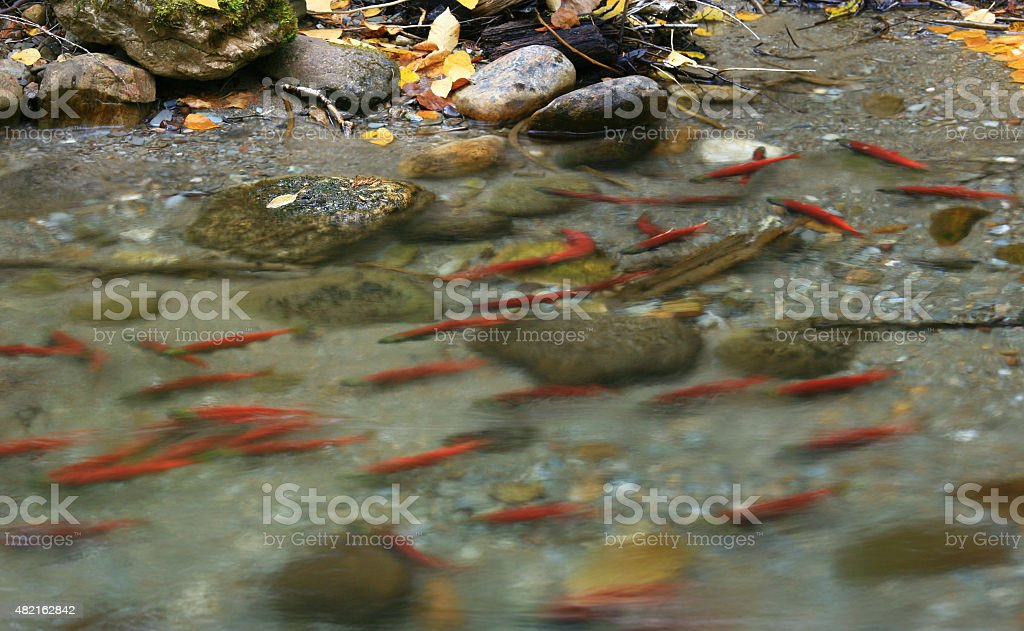 Red Spawning Salmon swimming in a Stream stock photo