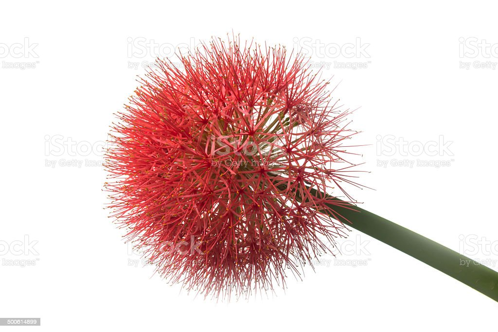 red sphere flower stock photo