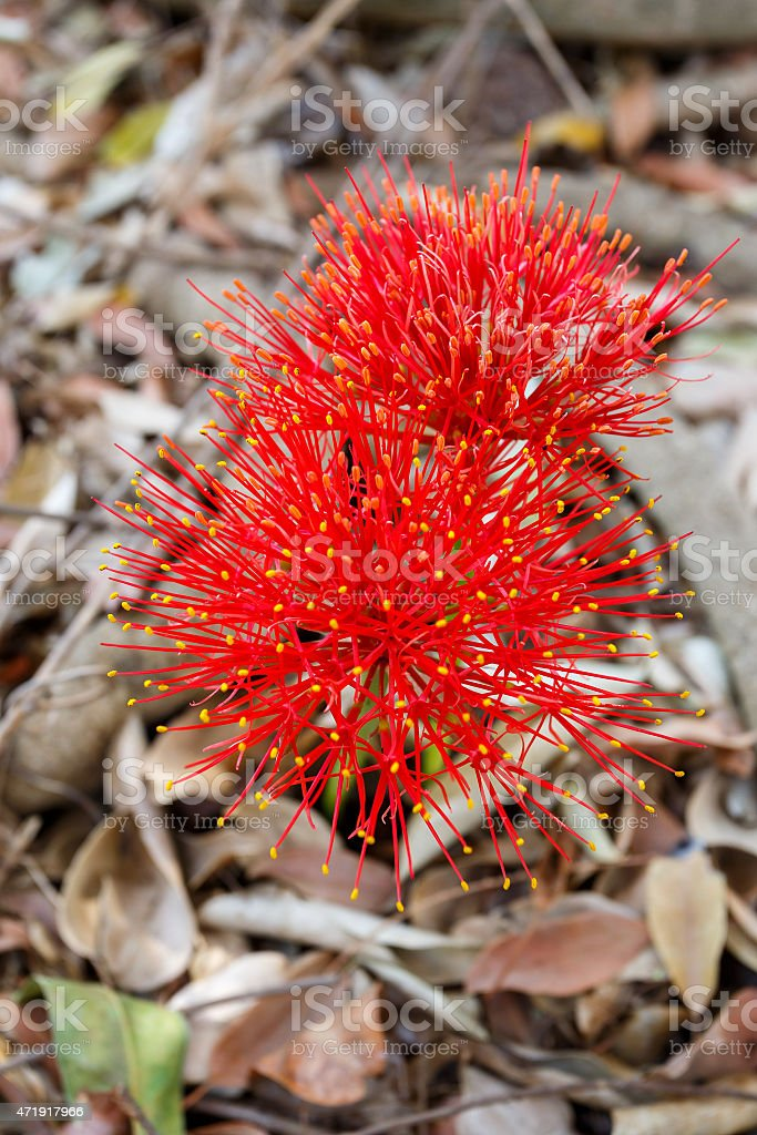 red sphere flower(fireball lily)in Victoria Falls stock photo