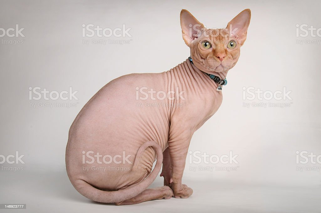 Red sphinx cat sitting stock photo