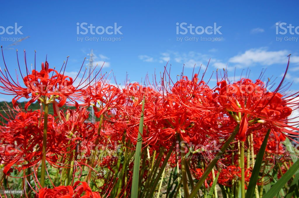 Red Spider Lilies, or Higanbana and blue sky. royalty-free stock photo