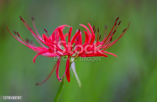 red Spider Lily blooming in a quiet country field.