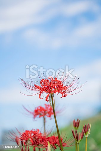 red spider lily blooming in the field gainst blue sky