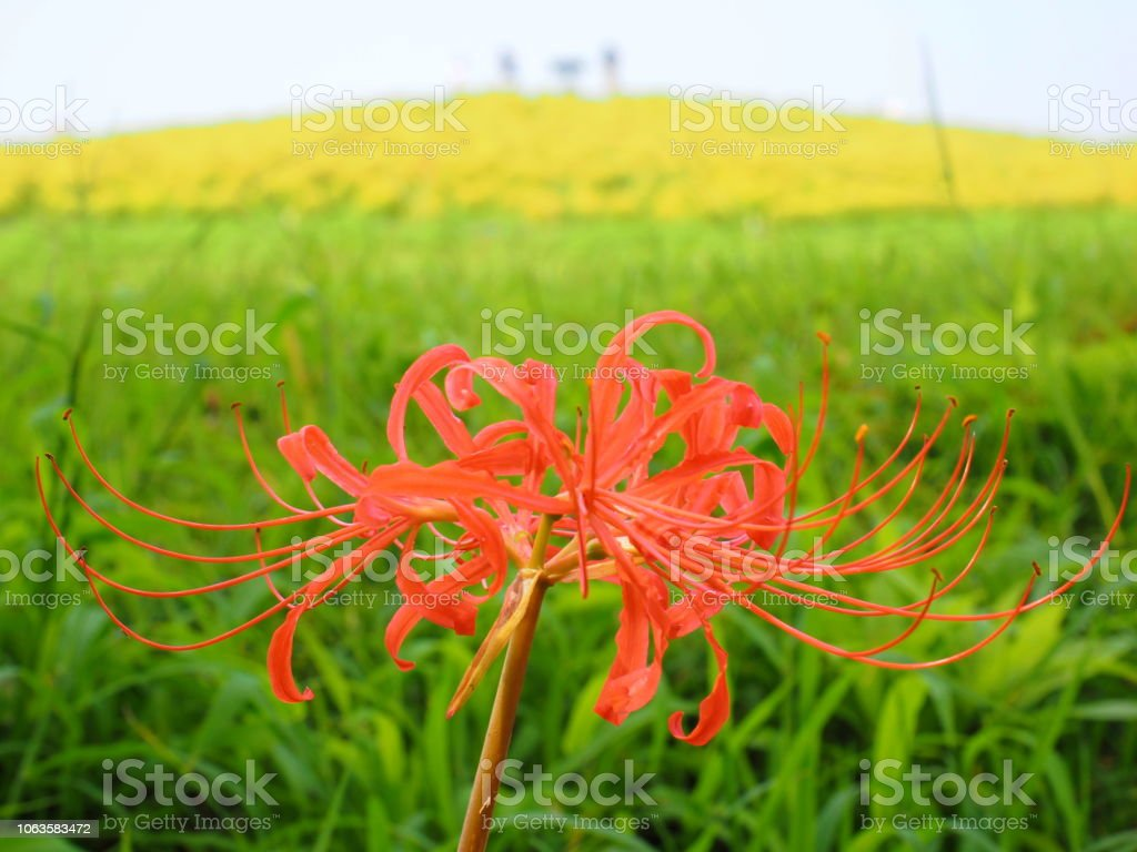 Red spider lily and green kokia flower - Stock image .