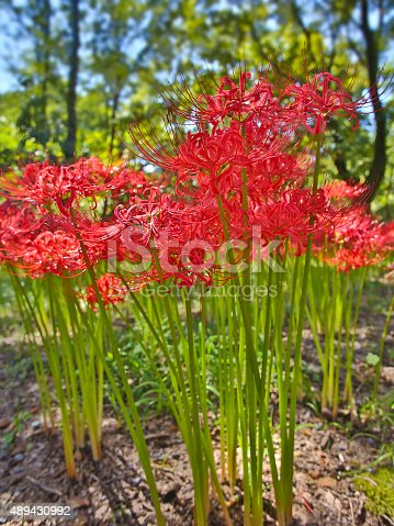 [i]Lycoris radiata[/i] (red spider lily, red magic lily) is a plant in the amaryllis family, Amaryllidaceae, subfamily Amaryllidoideae. Originally from China, Korea and Nepal, it was introduced into Japan and from there to the United States and elsewhere.