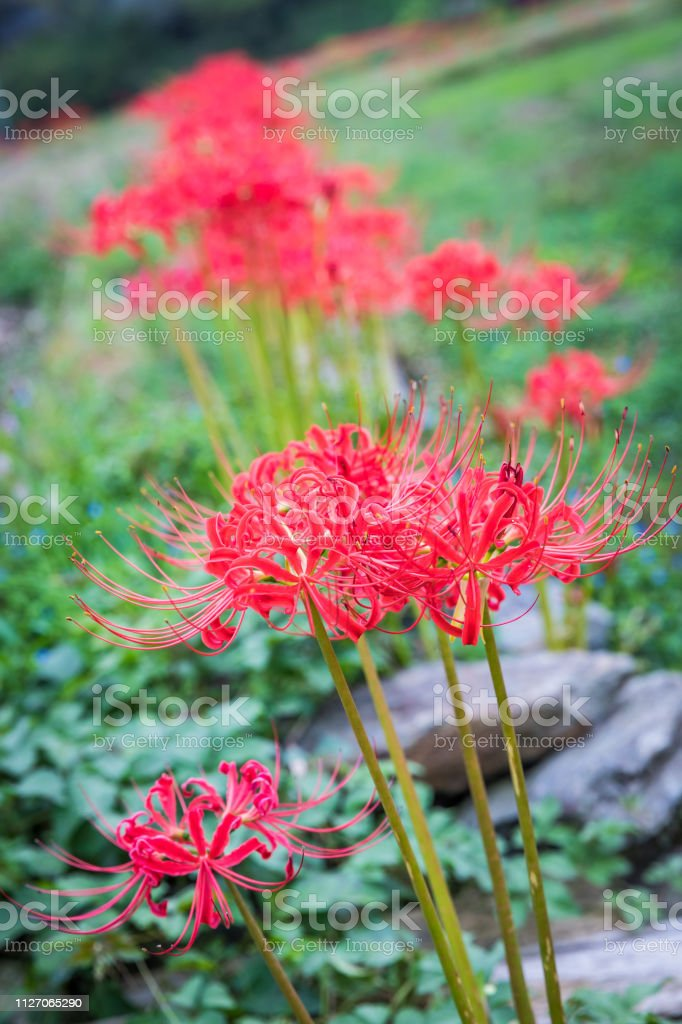 Red Spider Lily Line stock photo