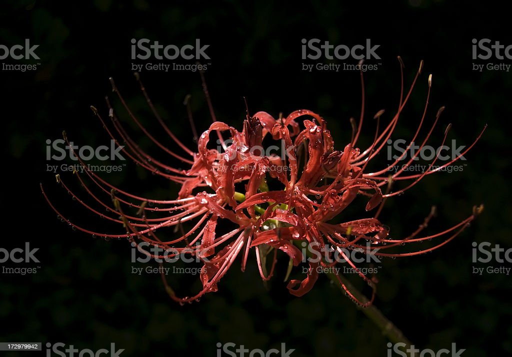 Red Spider Lily with nectar drops stock photo