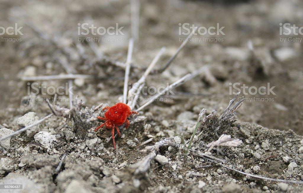 Red spider mite, Kenya stock photo