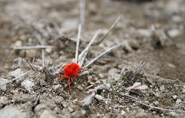 Red spider mite, Kenya stock photo