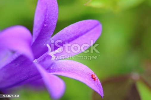 Macro shot of spider mite, Tetranychus urticae, on blue Campanula flower (Campanulaceae family) on green out of focus background. Focus on the small red insect.