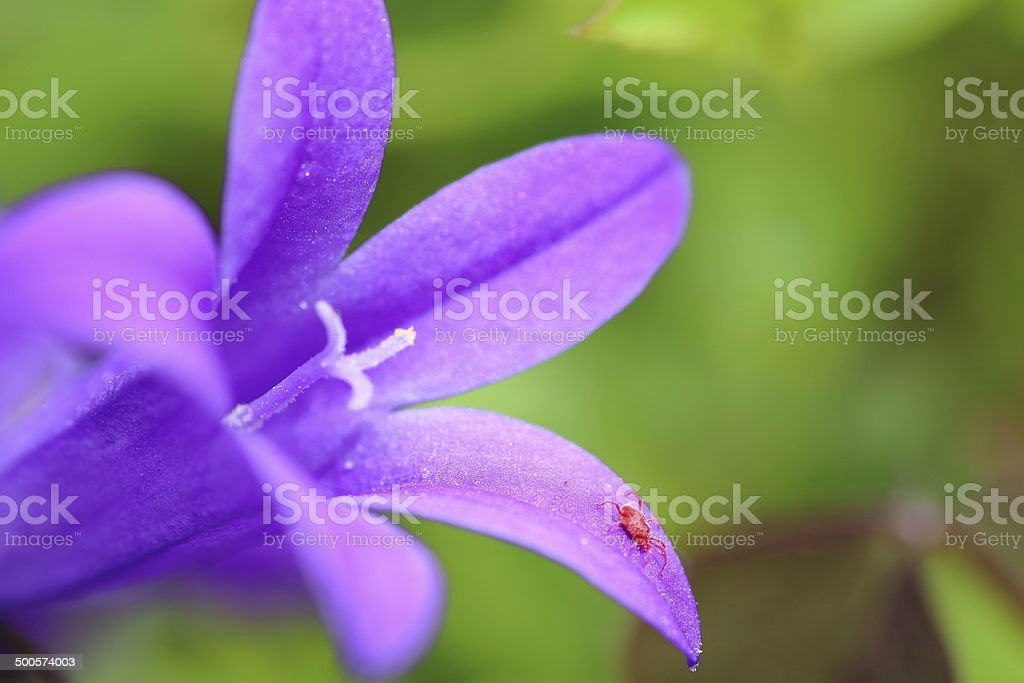 Red spider mite on Campanula flower stock photo