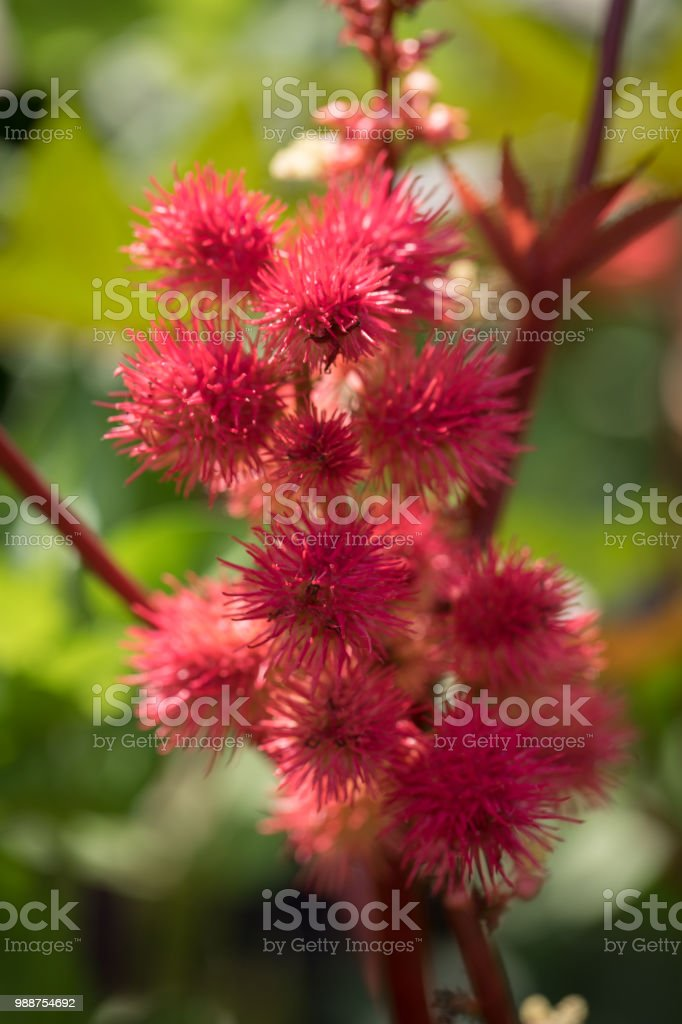 Red spike bud summer stock photo