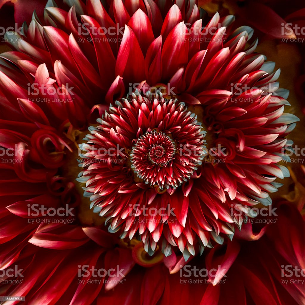 Red spiral dahlia royalty-free stock photo