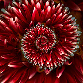 Red Red spiral dahlia