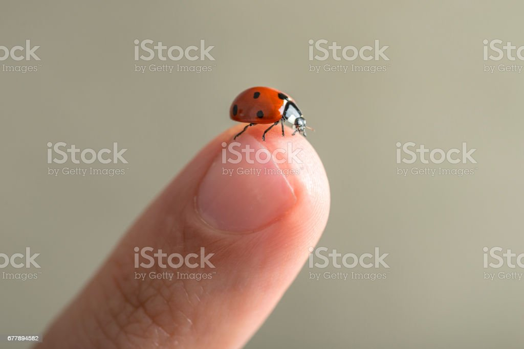 Red spotted ladybird on a finger royalty-free stock photo