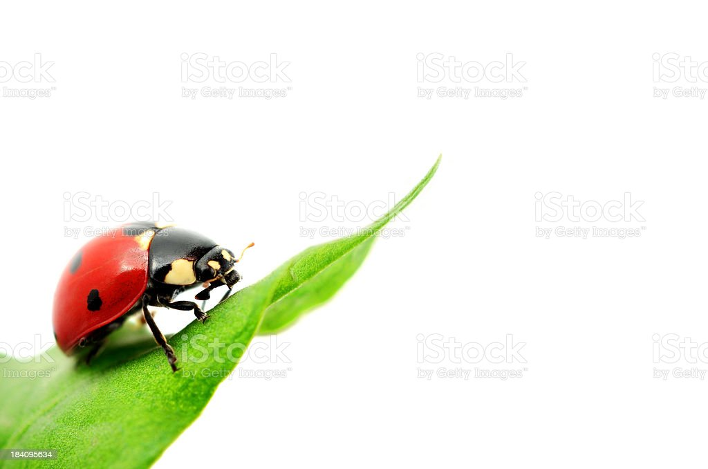 A red spotted ladybird on a green leaf royalty-free stock photo