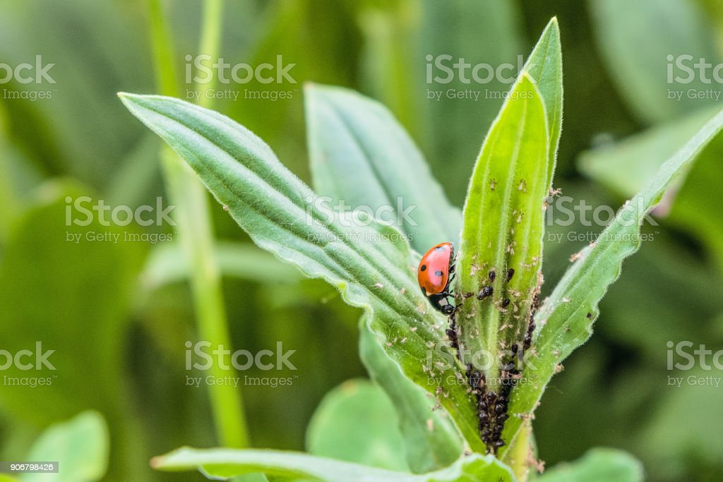 Red spotted ladybug eating aphid in the wild stock photo