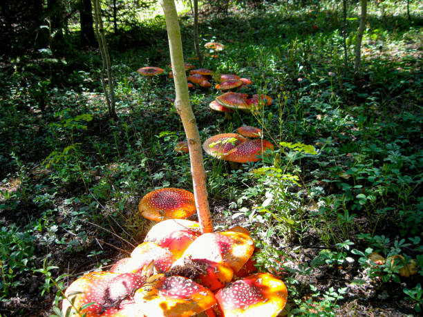 Red Spotted Mushrooms stock photo