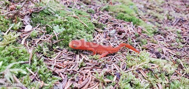 Newt on forest floor