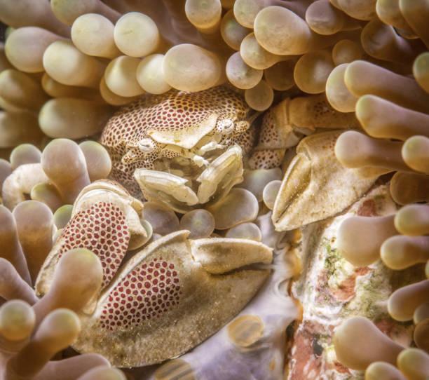 red spotted porzellan krabbe neopetrolisthes maculatus versteckt in einer anemone - flecktarn stock-fotos und bilder
