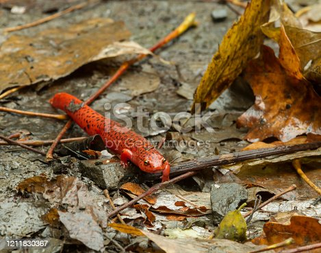 Red spotted salamander crawling on fallen leaves