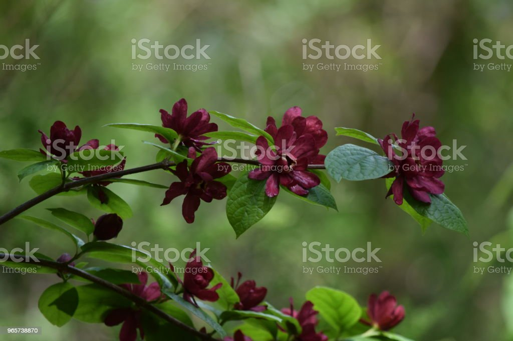 Red springtime flowers - Royalty-free Agricultural Field Stock Photo