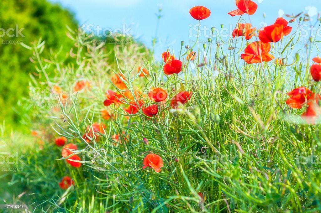 Roter Frühling poppies – Foto