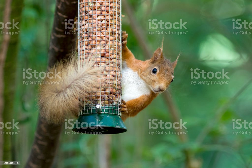 Red Squirrel (Sciurus vulgaris) at a peanut feeder royalty-free stock photo