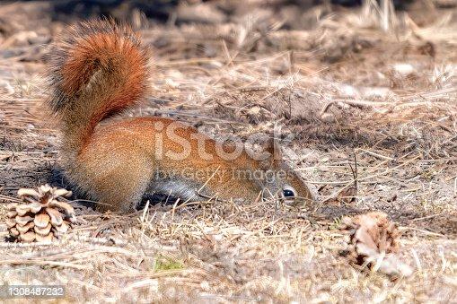 istock Red Squirrel Burying Nut 1308487232