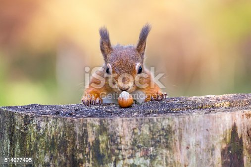 istock Red Squirrel can't believe his luck 514677495